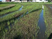 【ミシマサイコ栽培】の宿命。雑草との対決は如何に壮絶か。