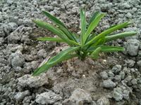 ミシマサイコ栽培-圃場での生育状況その1