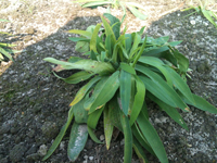 唸るように重なり合って成長するミシマサイコの葉っぱ達。