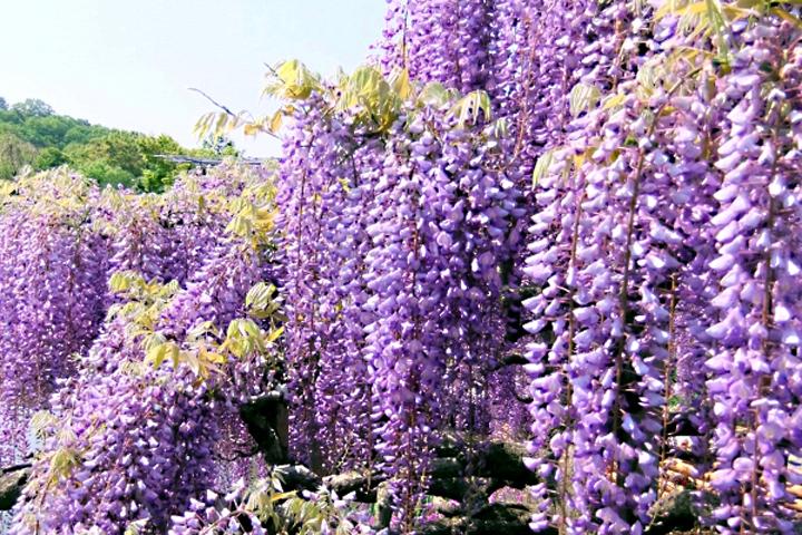鑑賞用途にも古代から日本人に愛されたフジの花