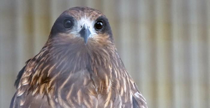 鷹の羽紋のモチーフとなったタカ
