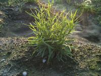 ミシマサイコ栽培-圃場での生育状況その3