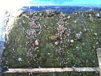 好光性のミシマサイコ。播種時に土で覆わずむき出しの状態での発芽の様子