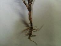 途中で枯れたミシマサイコのその根っこ。