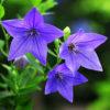 【秋の七草】のキキョウと万葉集の「朝貌の花」についての解説